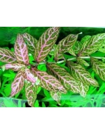 Hidrofila polysperma rosenberg