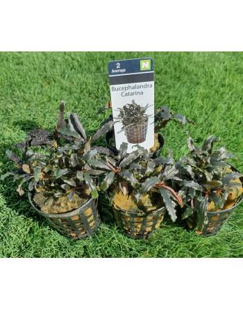 Bucephalandra Catarina pack 5 units