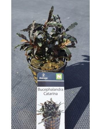 Bucephalandra Catarina