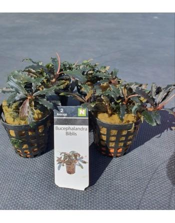 Bucephalandra Biblis pack 5 units