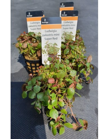 Ludwigia palustris mini Super Red pack 5 units