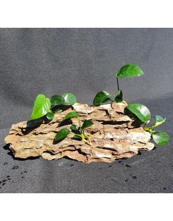 Dragon Rock with 4 Anubias 20-25cm 1,4kg