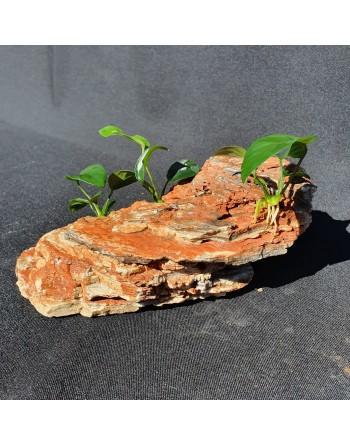 Estratos rochosos vermelhos 2 anubias 15-20cm 1,5kg